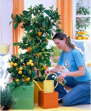 Комнатное лимонное растение