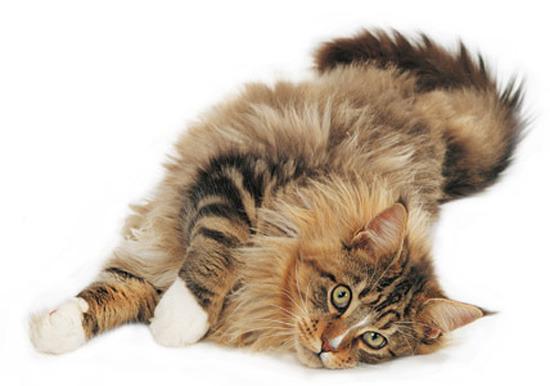 Что делать если ваша кошка линяет