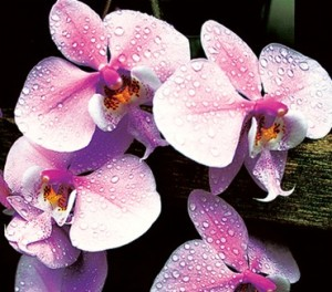 ухаживать за домашней орхидеей