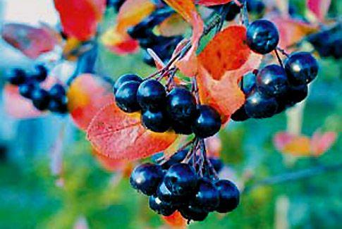 Полезные и лечебные свойства черноплодной рябины