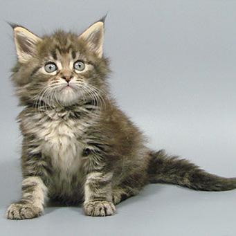 Советы при покупке котенка мейн-куна