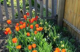Правильная посадка тюльпанов в домашних условиях