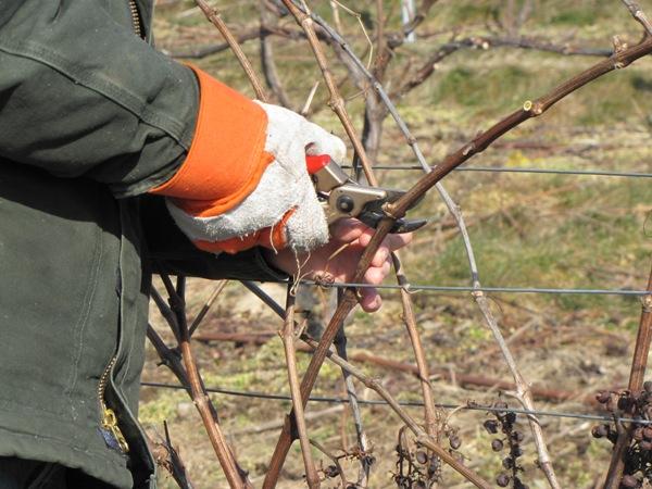 Как нужно правильно обрезать виноград осенью