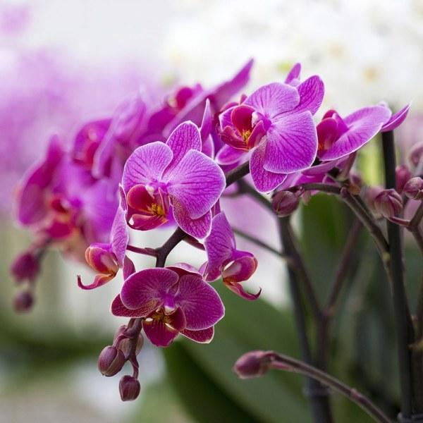 Пересадка орхидеи в домашних условиях